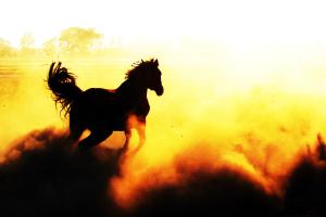 wildhors